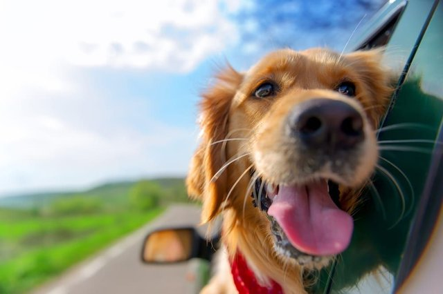 Some dogs love to go on a trip away as much as their owners. If this sounds like your pooch, then you and your dog could be in with the chance of reviewing free dog-friendly holidays across the UK (Photo: Shutterstock)