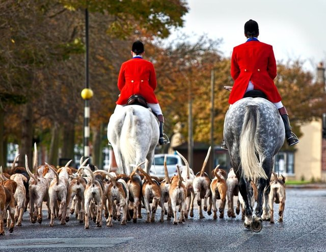 A pet cat has been killed by a pack of hunting hounds - the rules on fox hunting explained (Photo: Shutterstock)
