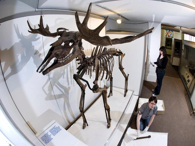 Horace the Elk, now on display at the Harris Museum in Preston