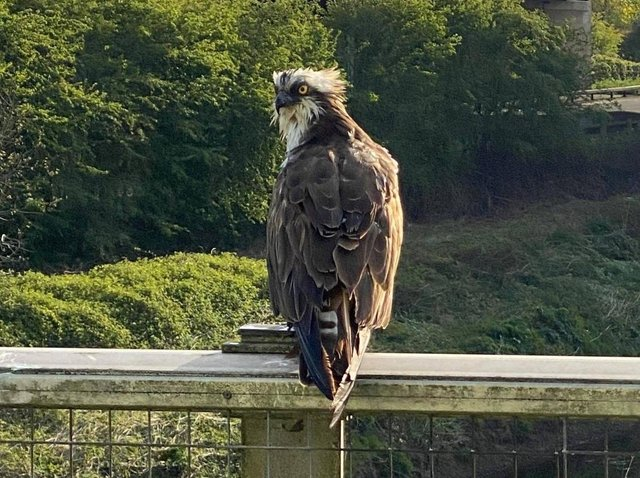 Osprey enjoying the sun and a quiet M6 on a motorway bridge over the River Ribble in Preston. Pic credit: Darren Lean