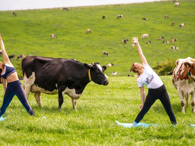 The experimental yoga class givespeople a chance to experience movement with cows