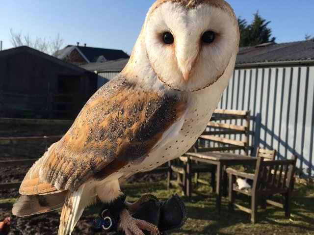 A desperate search has begun for missing barn owl Maus, who escaped from Hugo's Small Animal Rescue and Sanctuary's Grange Road, Hambleton branch yesterday. Photo: Bailey Lister