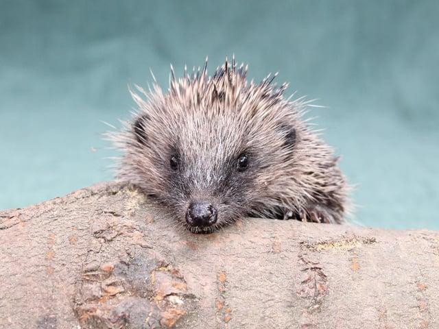 Donna Maskell - Chorley Hedgehog Rescue