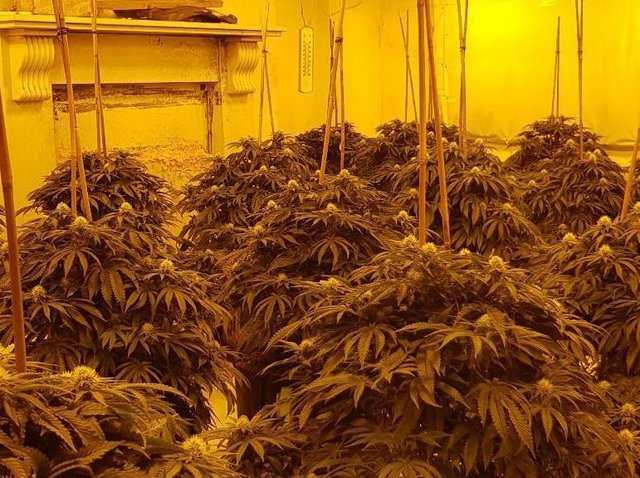 """A 24-year-old Albanian man was arrested at a home in Blackburn Road, Great Harwood after officers uncovered a """"sophisticated cannabis cultivation setup"""" with 100 plants inside. Pic: Lancashire Police"""