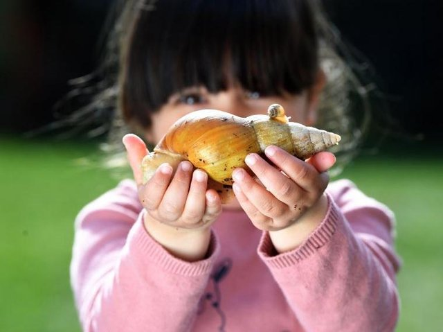 Ella Butlin, three, with an albino giant African land snail and on of its babies