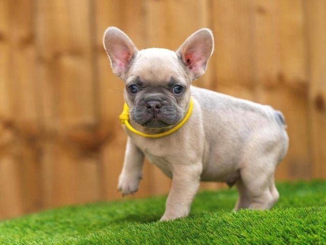 Leo, the 12 week old French Bulldog who was stolen in Accrington
