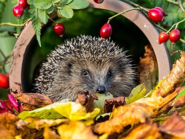 Hedgehog gets ready to hibernate. Photo by Shutterstock/Coatesy.