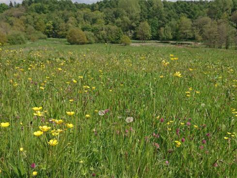 A wildflower meadow at Cuerden Valley Park