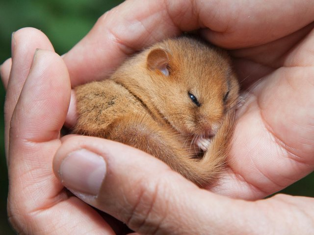 A rare hazel dormouse, which is being reintroduced to Lancashire in an undisclosed location in the Arnside and Silverdale AONB. Picture: CLARE PENGELLY